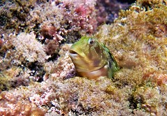 chaparrudo/mediterranean blenny (jjulio2311) Tags: reef rock sea water fish animal spain españa gobio green red face portrait blenny