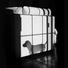 L1000178 (John F. Roberts) Tags: leicasl 50mm summilux sl dog shadow black white bw vizsla