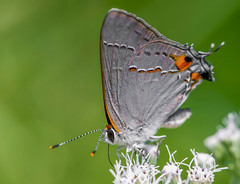 "Grey Hairstreak,,,Macro Monday (Bernie Kasper (4 million views)) Tags: art ""definingbeauty macromondays berniekasper butterfly color d600 family floral flower greyhairstreak wildflower wildflowers nature nikon naturephotography new outdoors outdoor old madisonindiana macro indiana indianawildflowers insect insects indianabutterflies light bigoaksnwr"
