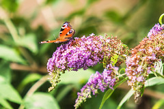 FARFALLA    ----    BUTTERFLY (Ezio Donati is ) Tags: farfalle butterfly animali animals fiori flowers natura nature colori colors macro italia parcodelticino provinciadipavina