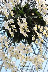 Floral shower (lauren3838 photography) Tags: laurensphotography lauren3838photography flowers floral orchids nikon d700 gardens longwoodgardens longwood pennsylvania kennettsquare nature ilovenature dof white