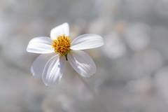 petite douceur blanche (christophe.laigle) Tags: christophelaigle fleur macro nature flower fuji blanc blanche xpro2 xf60mm white coth5
