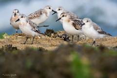 TRIDÁCTILOS (Carlos Cifuentes) Tags: correlimostridactilo pilrobulebule calidrisalba sanderling wildlife nature natural wildlifenature carloscifuentes bird birds shorebirds