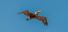 D03_6016 (mylesfox) Tags: pelican flight