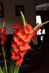DSC_1569 Gladioli (PeaTJay) Tags: nikond750 sigma reading lowerearley berkshire macro micro closeups gardens indoors nature flora fauna plants flowers bouquet gladioli
