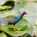 Purple Gallinule Strut
