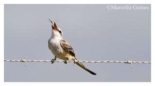 Scissor-tailed Flycatcher (Tyrannus forficatus) STFL - Cricket's Last Jump