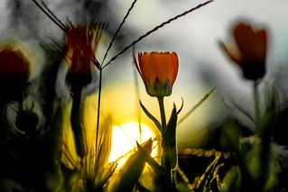 Ringelblumen