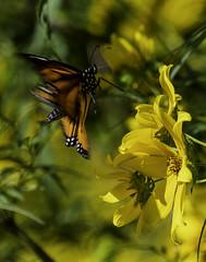 MonarchButterfly_SAF6502-1 (sara97) Tags: danausplexippus butterfly copyright©2018saraannefinke endangered insect missouri monarch monarchbutterfly nature photobysaraannefinke pollinator saintlouis towergrovepark
