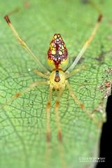 Comb-footed mirror spider (Thwaitesia sp.) - DSC_2388 (nickybay) Tags: africa madagascar macro andasibe mitsinjo mirror combfooted spider theridiidae thwaitesia