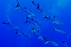 Barracudas (antony5112) Tags: underwater marsaalam sub scuba diving fish bigbrother barracudas