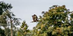Buizerd (Edwin.T) Tags: commonbuzzard buizerd roofvogel natuur nature bird vogel nikon d850 tamron