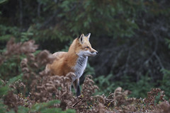 What was that? (Seventh day photography.ca) Tags: redfox fox animal mammal wildanimal wildlife fall predator autumn ontario canada seventhdayphotography chrismacdonald