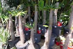 Pachypodium (tanetahi) Tags: madagascan succulent pachycaul pachypodium spiny thorny apocynaceae tanetahi