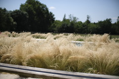 Strandhafer Indulgence (trsl1234) Tags: grass nature