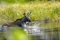 RJD_1254AA (*Ron Day*) Tags: wildlife animals alaska moose bull waterfowl ducks muskrat outdoors nikon d500 200500