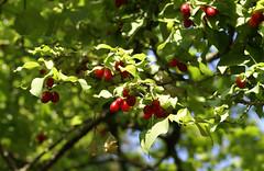 Kornelkirsche / cornelian cherry (cornus mas) (HEN-Magonza) Tags: botanischergartenmainz mainzbotanicalgardens rheinlandpfalz rhinelandpalatinate deutschland germany flora nature natur kornelkirsche corneliancherry cornusmas