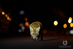 Disco Lights (LawrieBrailey) Tags: wildlife photo photograph urban street red fox redfox vulpes vulpesvulpes fuchs renard light lights streetlight bokeh balls sigma 135mm f18 art series lens nikon d4 iso 6400 night low lowlight lawrie brailey car window female vixen human connection wildlifephotography british britain london uk england