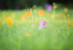 Cosmos Field (arlene sopranzetti) Tags: cosmos field parkway gsp nj highway garden state green orange