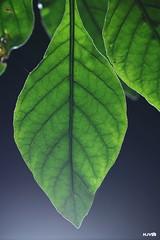 IMG_3281.enhanced.upload (harshithjv) Tags: leaf backlit backlighting green nature flash
