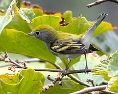 Chestnut-sided Warbler (Songbill) Tags: chestnutsidedwarbler warbler stlouis setophagapensylvanica