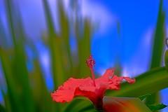 Sky Highlighted (Kirt Edblom) Tags: maui mauihawaii kula kulahawaii hawaii botanical botanicalgardens kulabotanicalgardens gardens gaylene wife flowers flower milf pink blue bluesky green scenic bokeh depthoffield macro closeup kirt kirtedblom edblom easyhdr hdr nikon nikond7100 40mm afsmicronikkor40mm128g outdoor outdoors plant