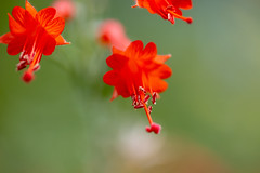 IMG_0227 (G_HOWDEN) Tags: red flower bokeh