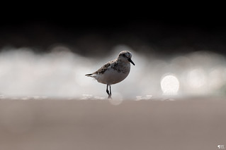 ''Pluie de bokeh!'' Bécasseau sanderling-Sanderling