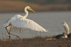 walking in the air (cirdantravels (Fons Buts)) Tags: ardea alba egret heron reiger aigrette reiher silberreiher zilverreiger ardeidae pelecaniformes satpura garceta garza airone garça