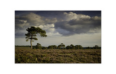 Stand Tall. (muddlemaker1967) Tags: hampshire landscape photography thenewforest national park scots pine heather heathland clouds sunset fujifilm xt1 fujinon xf35mm f14 r