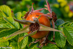 Rosehip (View From The Chair Photography) Tags: nature flower seed