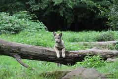 Louveteau européen (Passion Animaux & Photos) Tags: loup louveteau europeen european wolf cub canis lupus