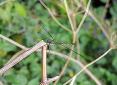 Willow Emerald (Mama_Kin) Tags: dragonfly dragonflies damselfly damselflies odonata zygoptera