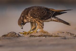 Juvenile Peregrine Falcon (Perry)