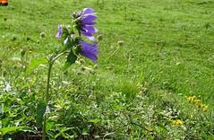 """Glockenblume (Campanula) am Krebsbach Wasserfall (30 m) der Weißach (warata) Tags: 2018 deutschland germany süddeutschland southern schwaben swabia oberschwaben upperswabia schwäbisches oberland bayern allgäu pflanze flower """"sony dschx400v"""" wildpflanzen glockenblume """"campanula"""""""