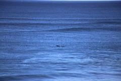 IMG_3688 (gervo1865_2 - LJ Gervasoni) Tags: surfing with whales lady bay warrnambool victoria 2017 ocean sea water waves coast coastal marine wildlife sealife blue photographerljgervasoni