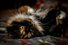 Söndagskänsla (MagnusBengtsson) Tags: fotosondag söndag sunday fs180916 katt cat ryggläge lat vila rest
