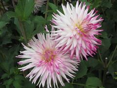 (Koboldbilder) Tags: britzergarten britz park flower blume dahlien dahlia dahlien2018