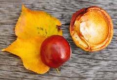 Conker and 2 leafs (Martyn.Hayes) Tags: autumn fall september october november leaf nature brown red conker acorn stilllife outdoors