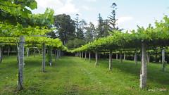 Viñedo en el Pazo de Señorans. (lumog37) Tags: uva viñedo vineyard grapes pazo manorhouse manor