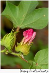 Jardín botánico en septiembre (M. Martin Vicente) Tags: jbm algodonero gossypiumherbaceum