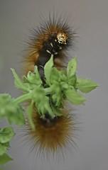 Hairy & Scary! (☼Jo Zimny Photos☼) Tags: theflickrlounge focus caterpillar large brown black hairy scaryface inthefrontyard onthebasil nikon d3400 105mm jozimny