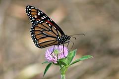 2018 Monarch Butterfly 042 - Danaus Plexippus (Chrisser) Tags: insects insect butterflies butterfly monarch danausplexippus nature ontario canada canoneosrebelt6i canonef75300mmf456iiiusmlens nymphalidae