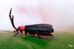 20180917 - 06  Net-winged Beetle, Lycidae, circa 8mm. (Henry Aldridge) Tags: arthropods singapore henryaldridge insects coleoptera beetles lycidae netwingedbeetles