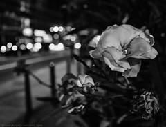 P9185838 (Geza (aka Wilsing)) Tags: flower closeup bokeh selectivefocus bw