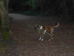 Reba on the mend (andreboeni) Tags: boxer dog chien hund perros hunden dogs chiens