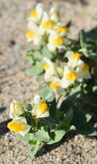 Linaria japonica (unikto) Tags: 海蘭 unran linariajaponica seasideplants seaside sea coast shore plant green flower white yellow leaf leaves sand day daylight morning shade shadow autumn