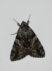 Catocala sp. (esta_ahi) Tags: mariposa nocturna polilla moth lepidoptera insectos fauna vilafrancadelpenedès penedès barcelona spain españa испания catocala erebidae erebinae catocalini