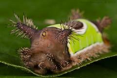 Acharia stimulea (Kevin Stohlgren) Tags: acharia stimulea saddleback caterpillar maryland sony a77 sigma 70mm macro