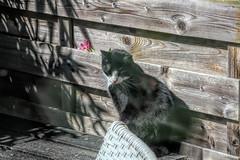Cat in the garden (gill4kleuren - 17 ml views) Tags: pussy puss poes chat mieze katje gato gata gatto cat pet animal kitty kat pussycat poezen